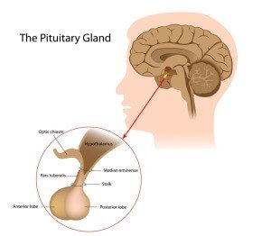 What Is The Function of the Pituitary Gland