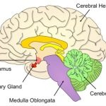 Where Is The Pituitary Gland?