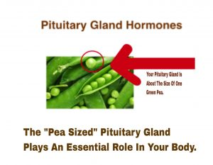 where is the pituitary gland located