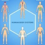 Medical Pictures Of The Human Body